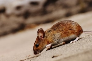 Mice Control, Pest Control in Northwood, Moor Park, HA6. Call Now 020 8166 9746