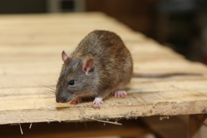 Rodent Control, Pest Control in Northwood, Moor Park, HA6. Call Now 020 8166 9746