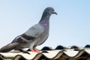 Pigeon Pest, Pest Control in Northwood, Moor Park, HA6. Call Now 020 8166 9746